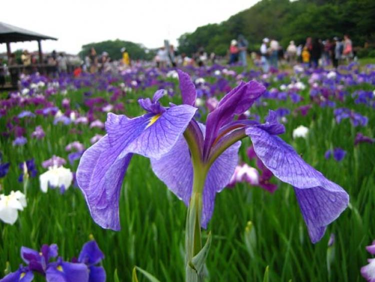 【東京】夏の訪れを告げるハナショウブまつり5選